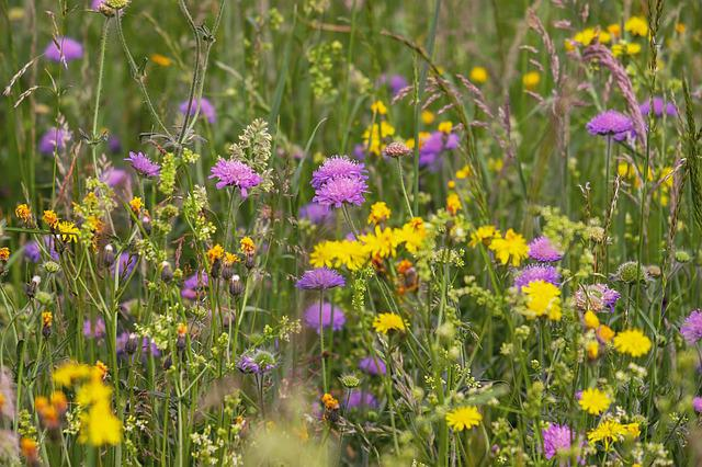 Wild Flower Meadow, Flowers, Arable Widow Flowers