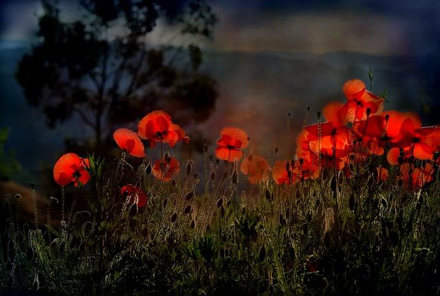 Poppy, Flower, Nature, Red, Wild Flower, Wild Flowers