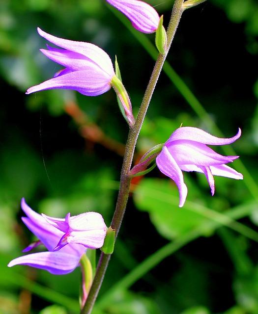 Red Waldvöglein, Orchid, Wild Flower, Pink