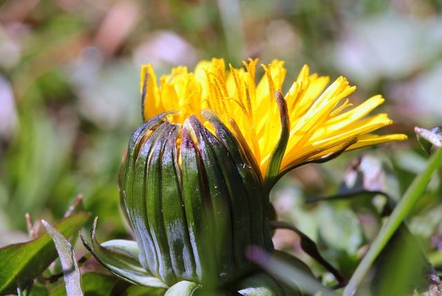 Dandelion, Pointed Flower, Plant, Wild Flower