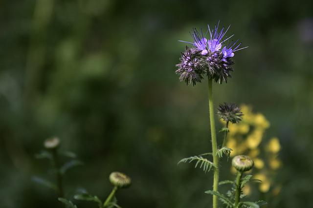 Tufted Flower, Wild Flower, Phacelia, Purple