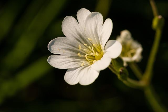 Acker-horn Herb, Wild Flower, Bloom, White, Spring