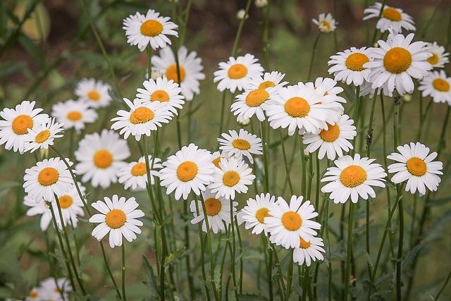 Daisies, Flower Meadow, White, Wild Flowers, Spring