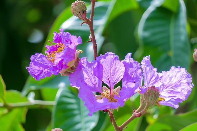 Lagerstroemia, Flower, Plant, Wild Flowers, Hua Xie