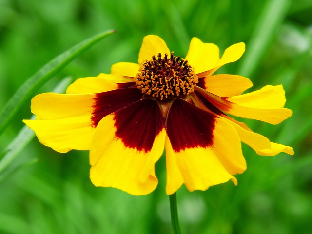 Mädchenauge, Flower Meadow, Flower, Wild Flowers, Plant