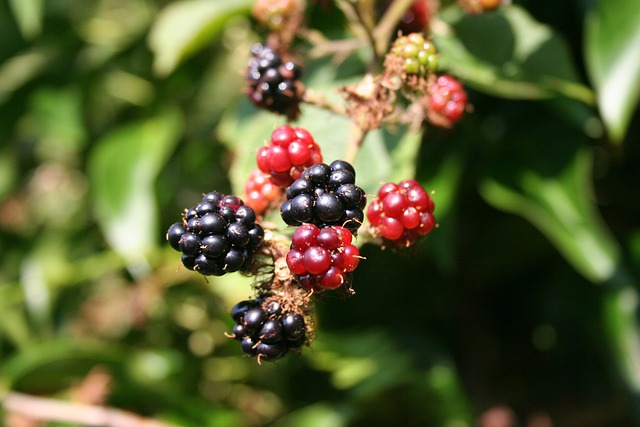 Blackberry, Berries, Blackberries, Food, Fruit, Wild