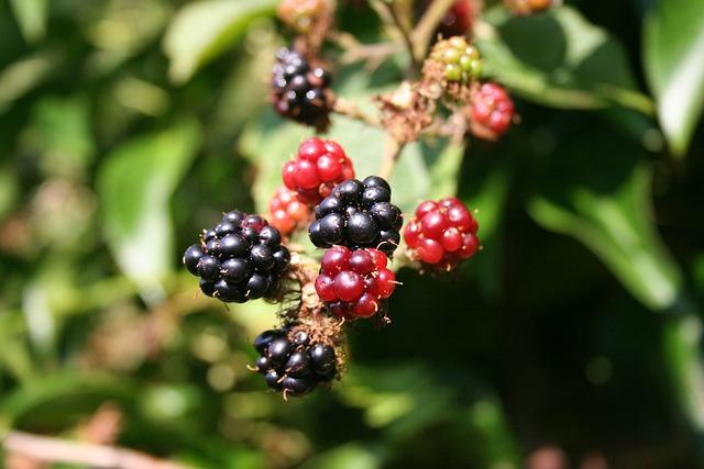 Blackberry, Berries, Blackberries, Food, Fruit, Wild