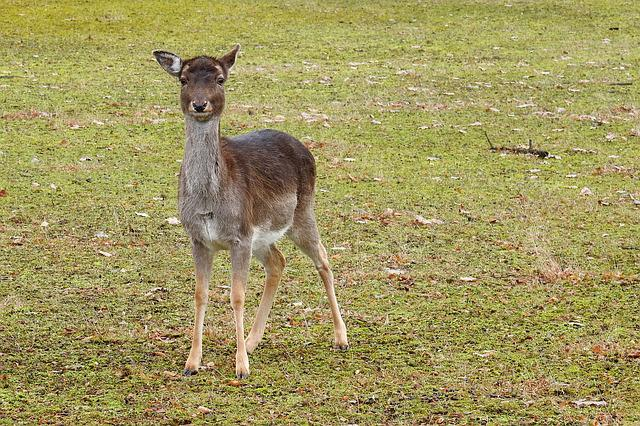 Roe Deer, Forest, Fallow Deer, Nature, Wild, Animal