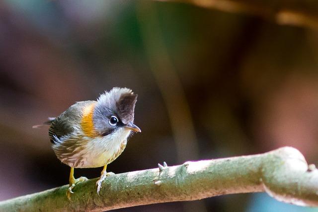 Birds Of Mt Crested, Doi Phu Kha, Wild Fowl