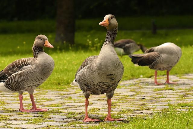 Greylag Geese, Geese, Birds, Wild Geese, Waterfowls