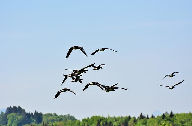 Geese, Birds, Poultry, Water Bird, Wild Geese