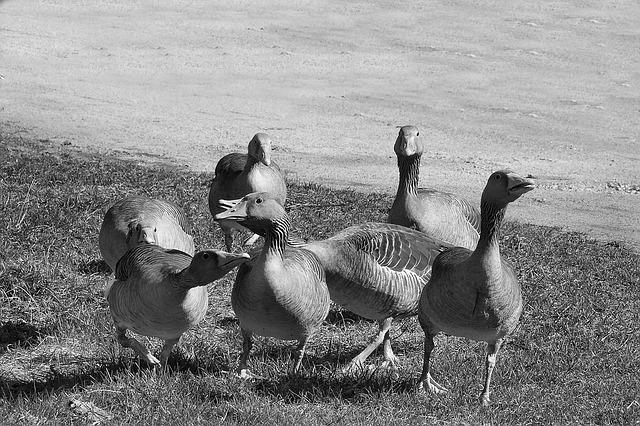 Wild Geese, Grey Geese, Poultry, Migratory Birds