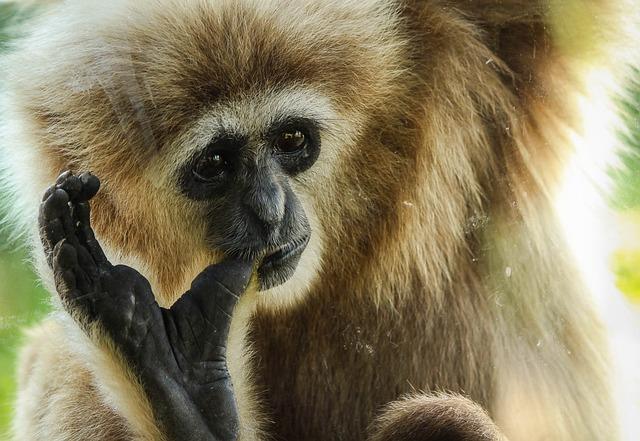 Gibbon, Primate, Ape, Animal, Mammal, Wildlife, Wild