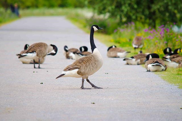 Nilgänse, Geese, Bird, Wild Goose, Poultry, Animals