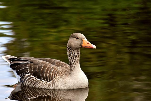Goose, Wild Goose, Water Bird, Bird, Poultry