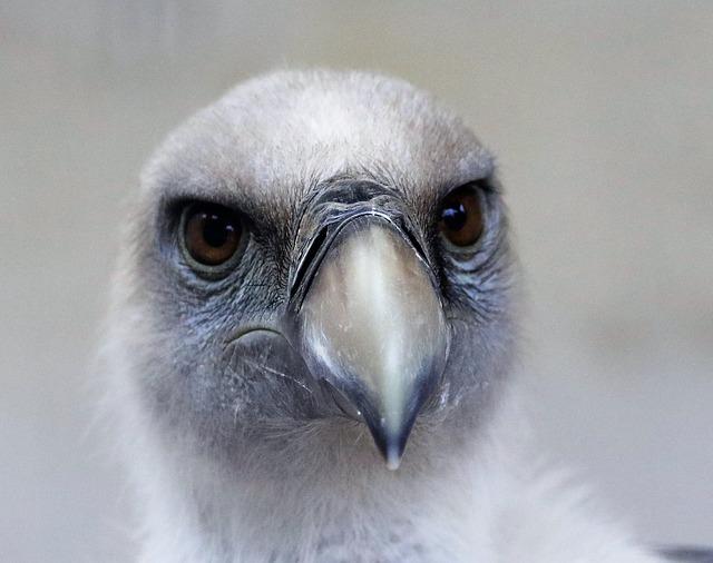 Griffin Vulture, Vulture, Bird, Wildlife, Nature, Wild