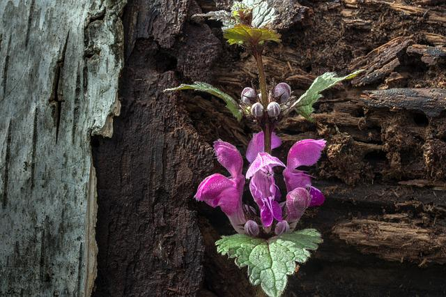 Spring, Dead Nettle, Wild Herb, Nettle, Wild Flower