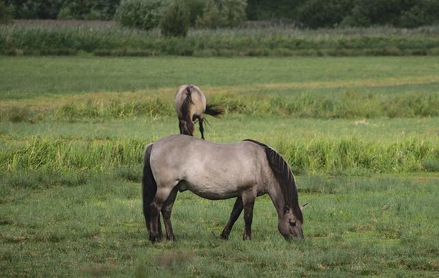 Konik, Wild Horse, Grazing Horse