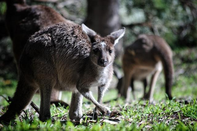 Kangaroo, Australia, Marsupial, Animal, Wild, Mammal