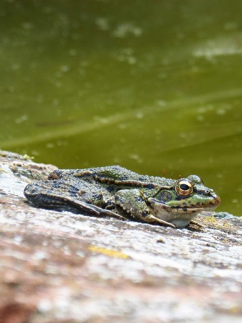 Frog, Green Frog, Nature, Anura, Wild Life, Animalia