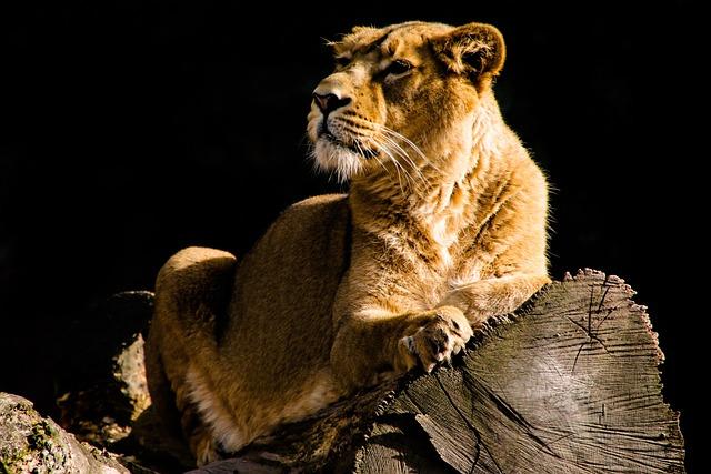 Animal World, Lion, Big Cat, Wild, Attention