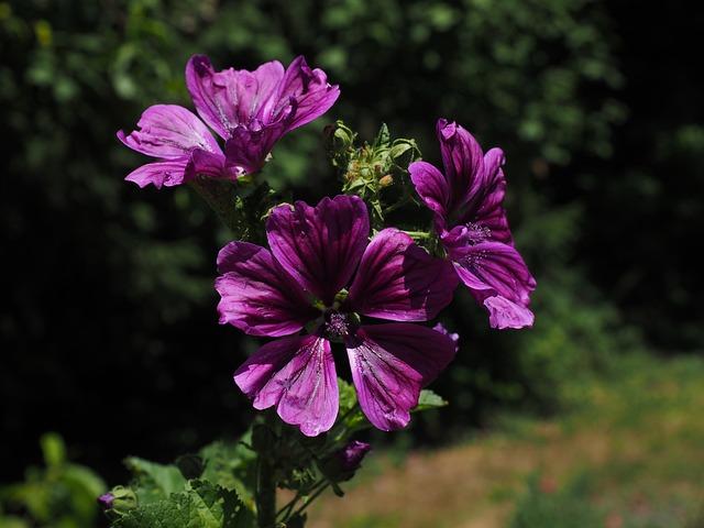 Wild Mallow, Flower, Blossom, Bloom, Violet, Purple