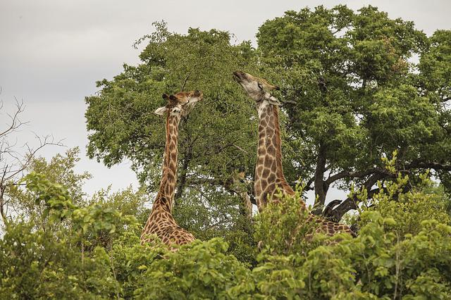 Giraffe, Wildlife, Wild, Africa, Animals, Natural
