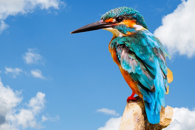 Kingfisher, Bird, Wildlife, Nature, Animal, Beak, Wild