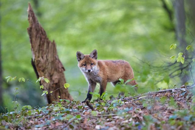 Fuchs, Young Fox, Animal, Wild, Nature, Curious