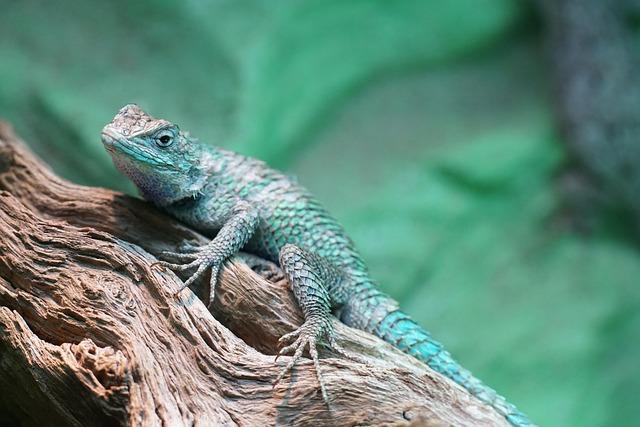 Blaukehlagame, Iguana, Reptile, Agame, Zoo, Wild Nature