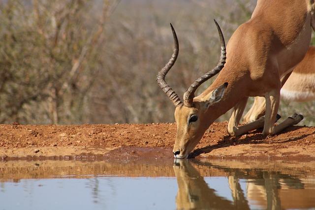 Impala, Africa, Nature, Drink, Water, Safari, Wild