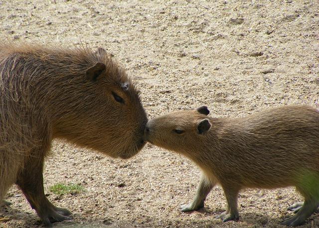 Mammal, Animal, Wildlife, Nature, Wild, Capybara, Love