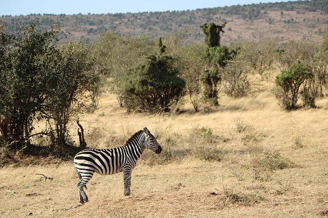 Zebra, Safari, Savanna, Nature, Wild, Wildlife, Reserve