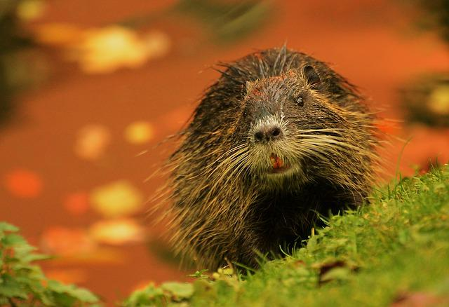 Nutria, Nature, Animal World, Mammal, Wild