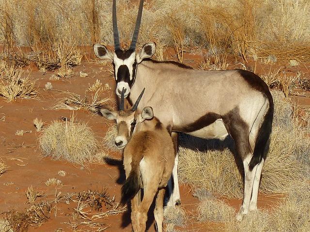 Oryx, Antelope, Namibia, Wild