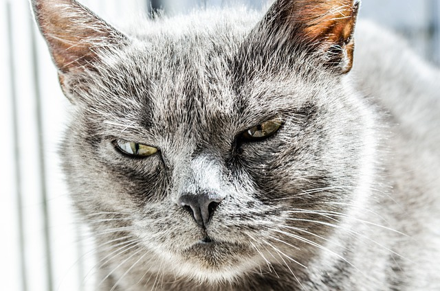 Cat, Angry, Unhappy, Wild, Black, Gray, Pet, Furious