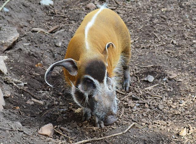 Red River Hog, Potamochoerus Porcus, Bush Pig, Wild Pig