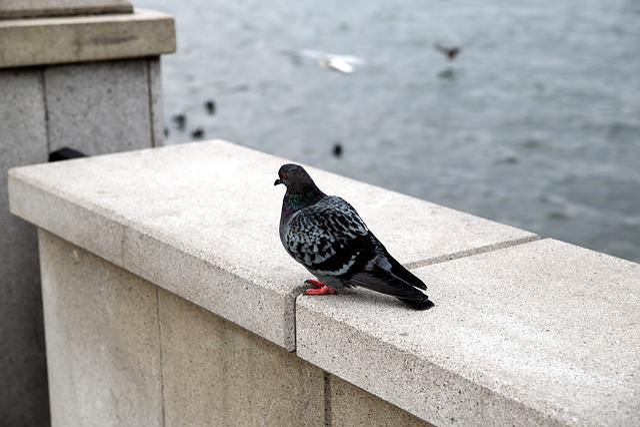 Dove, Bird, Wild Pigeons, Blue Grey Pigeons
