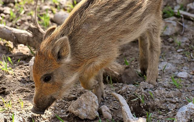 Wild Pigs, Small Pigs, Mini, Cute, Sweet, Funny, Play