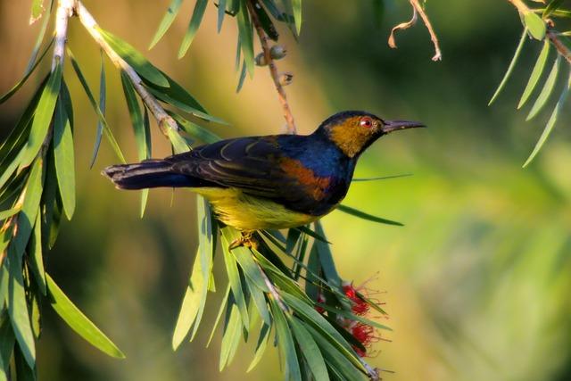 Plain Throated Sunbird, Wild, Bird, Wildlife, Perch