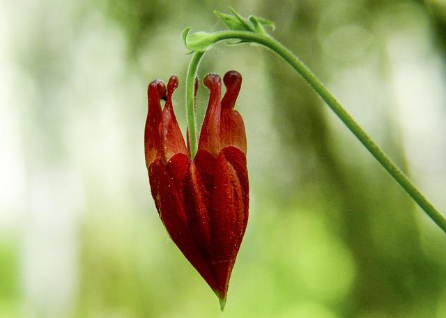 Bud, Red, Sitka Columbine, Wildflower, Wild Plant