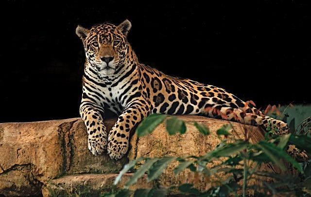 Jaguar, Resting, Rock, Predator, Cat, Big, Wild, Animal