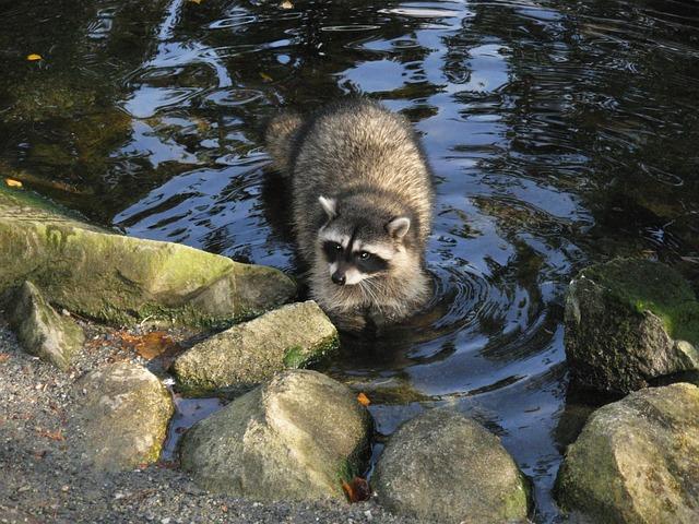 Raccoon, Nature, Animal, Cute, Wildlife, Wild