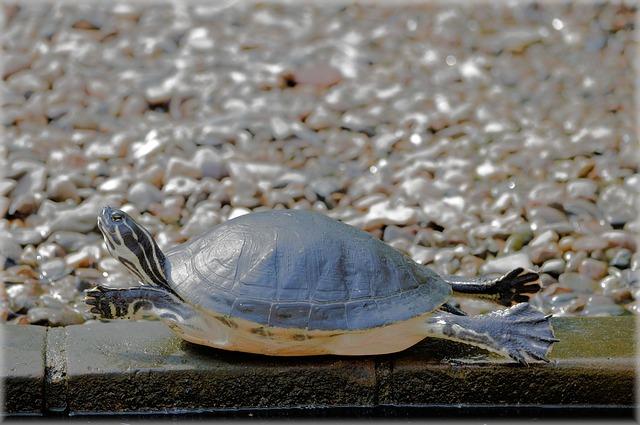 Turtle, Extend, Reptile, Animal, Wildlife, Wild