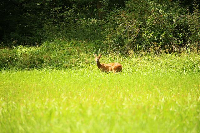 Roe Deer, Wild, Forest, Edge Of The Woods, Animal