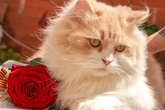 Cat, Rosa, Animal, Sant Jordi, Garden, Wild, Flower