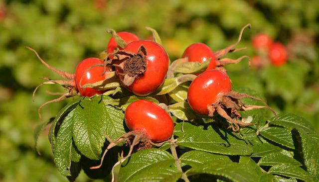 Rose Hip, Wild Rose, Fruit, Autumn, Bush
