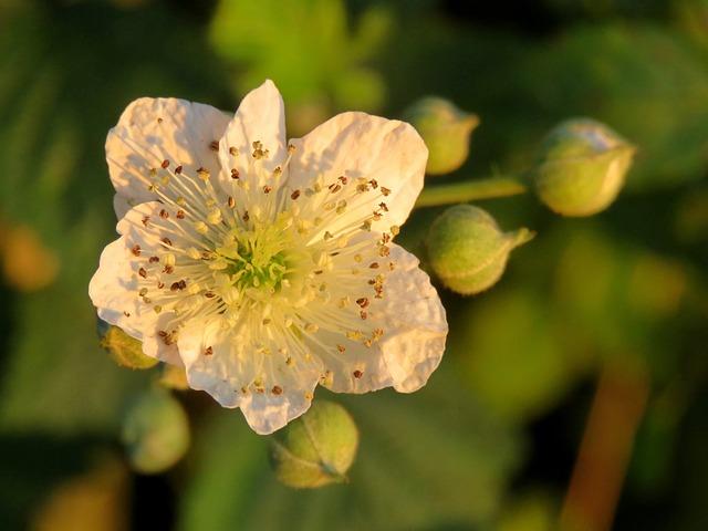 Wild Rose, Blossom, Bloom, White, Rose Family