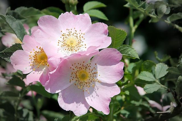 Wild Rose, Bush Rose, Blossom, Bloom, Pink Corymbifera