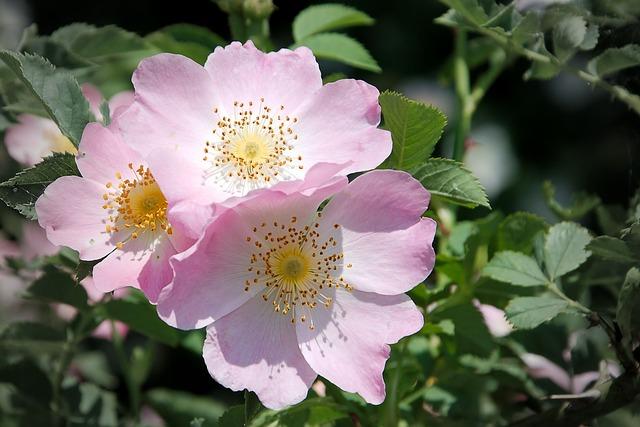 Wild Rose, Bush Rose, Blossom, Bloom, Pink Corymbifera